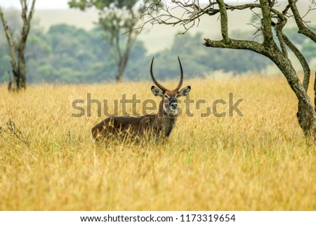 A waterbuck in the Masai Mara savannah, Kenya.  It is a large antelope found widely in sub-Saharan Africa.