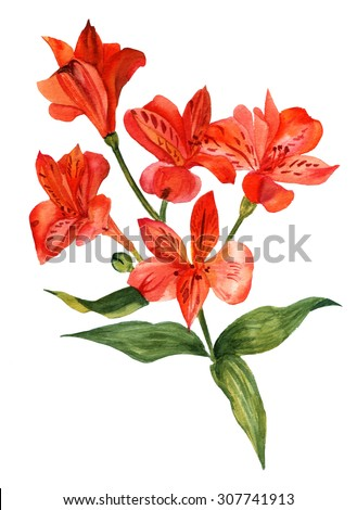 A watercolour drawing of a bright branch of flowers (alstroemerias), with green leaves, on white background, retro style