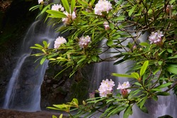 A waterfall is framed with rhododendron in bloom.