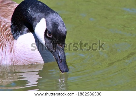 Photo of  A waterfowl sipping some water.