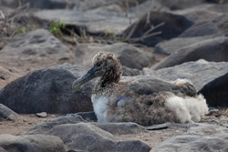 A Waved Albatross chick, Phoebastria irrorata, resting in the Galapagos