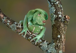 A waxy monkey tree frog is sitting on a branch and seems to have the head of a puppy.