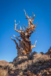 A weathered Bristlecone Pine tree on a mountainside in the White Mountains of California.