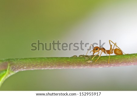 a weaver ant is taking care the little aphids on the tree branch