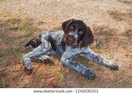 A 10 week old, white and dark brown, German wirehaired pointer puppy lies with outstretched front paws and head cocked at a charming angle. The adorable baby dog is focused intently on the viewer. #1242030352