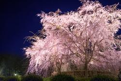 A weeping cherry tree at Maruyama Park, Kyoto, Japan, at night.