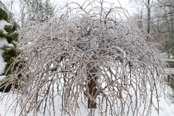A weeping tree covered in ice