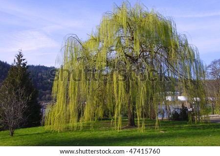 A Weeping Willow tree.