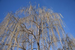 A Weeping Willow tree droops its branches with blue sky above.