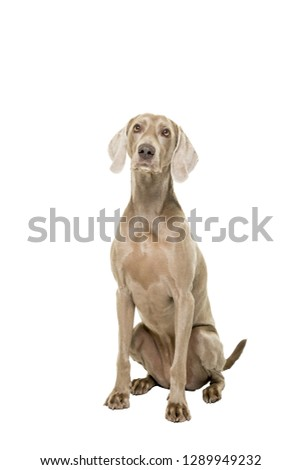 A Weimaraner dog, female, sitting isolated on white background looking at the camera #1289949232