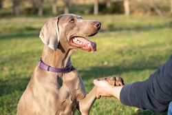 A weimaraner greets a person. The dog gives its claw to a person. The dog is looking directly at the person with its mouth open.