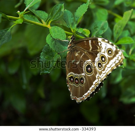 A well camouflaged butterfly