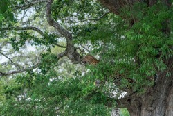 A well-grown male leopard is on a tree. This was taken in the wildlife park of Sri Lanka called Yala national park.