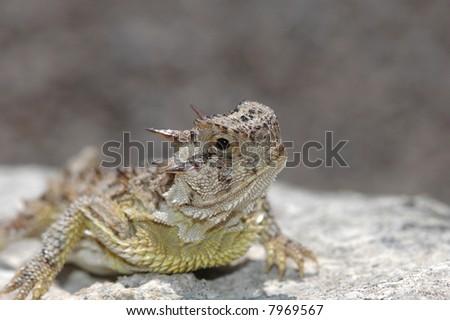 A well lit portrait of a Texas horned lizard on a rock.