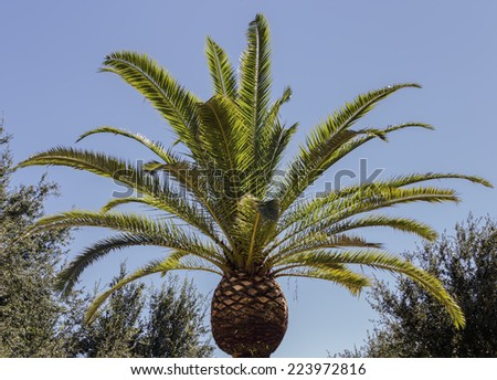A well manicured Royal Palm Tree in the sun.