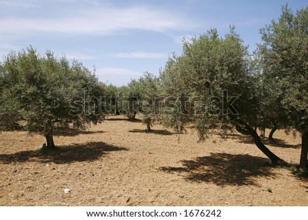 A well-tended Cretan olive grove.