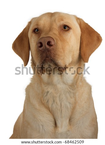 a well trained and faithful labrador awaits it next command; portrait of a yellow lab on a white background