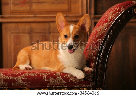 a Welsh Corgi Pembroke on the sa fa
