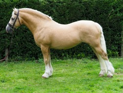 A welsh section C stallion stood up to show off his conformation