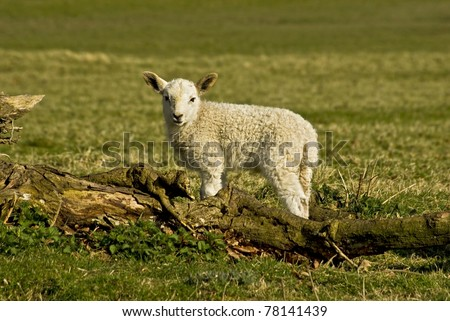 a welsh spring lamb investigating around a fallen tree