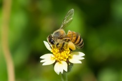 A West African Honey Bee (Apis melifera adansoni) gathering pollen from a flower