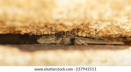 A Western Fence Lizard hiding between two boulders