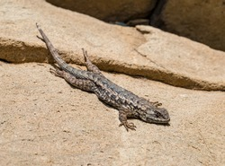 A Western Fence Lizard (Sceloporus occidentalis), also known as a