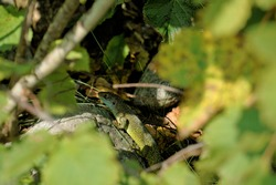 A western green lizard (Lacerta bilineata) hiding in a bush