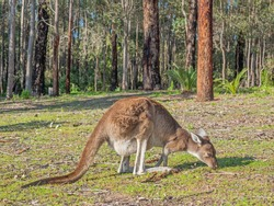 A western grey kangaroo (Macropus fuliginosus), feeding at the edge of a forest in Donnelly River in Western Australia.