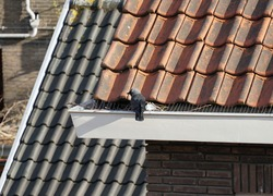 A western jackdaw bird building a nest using branches and a mouth cap, inside the gutter of a house with gutter spikes installed.