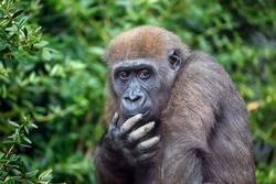A Western Lowland Gorilla female