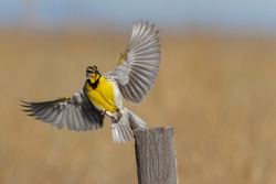 A western meadowlark alights on a fence post in Wyoming.