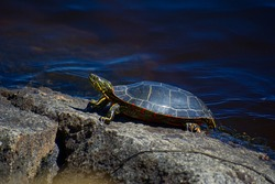 A Western Painted Turtle (Chrysemys picta) sunbathing on the rocky shore of the Canadian Shield