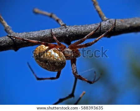 A Western Spotted Orb Weaver Spider native to Arizona hiding on a tree branch waiting for passing prey to ambush. #588393635