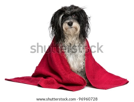 A wet black and white havanese dog after the bath with a red towel isolated on white background