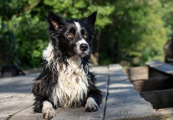 A wet border collie puppy warms up on a wooden pier