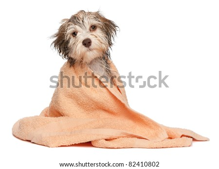 A wet chocolate havanese puppy dog after bath is dressed in a peach towel isolated on white background - stock photo