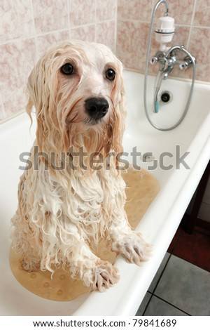 A wet cream havanese dog is bathing in a tube and looking to camera