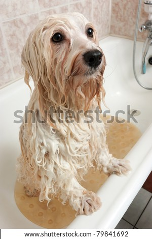 A wet cream havanese dog is bathing in a tube and looking up