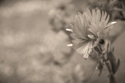 A wet flower in the rain. Raindrops on the petals with blurred background. Sepia tone