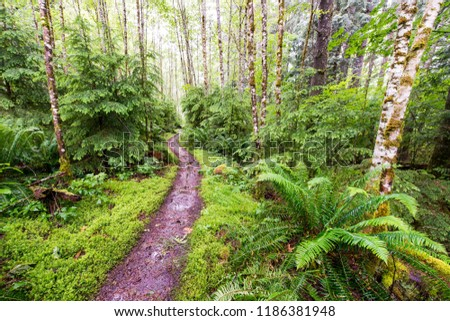 A wet  muddy trail curving through lush green moss, grasses and ferns in an alder and fir tree forest #1186381948