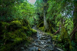 A wet path through the moss covered jungle of Kanchenjunga National Park