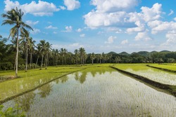 A wet rice paddy with seedlings in Carmen, Bohol. Traditional rice production in the Philippines. Scenic rural landscape with coconut trees.
