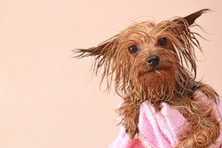 a wet Yorkshire Terrier looks ahead after bathing in a pink towel, idea of an animal salon