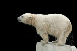 A wet young polar bear, standing on the bank of the pool, isolated on black background. Cute and cuddly animal kid, which is going to be the most dangerous and biggest beast of the world.