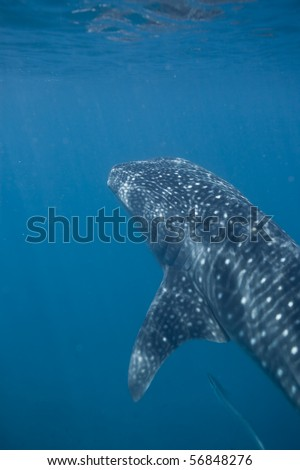 A whale shark coming up