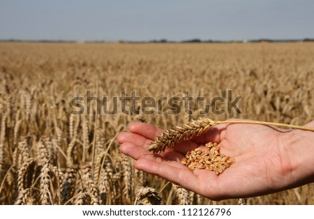 A wheat field and a female hand holding wheat and a wheat stalk.