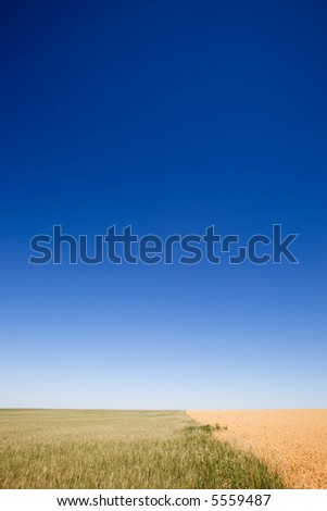 A wheat field contrasted against a pea field with a flat prairie horizon - stock photo