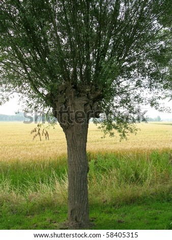 A wheat field with a willow tree in front