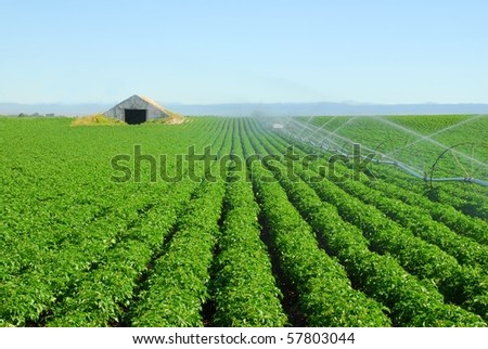 A wheel line irrigates a potato field with a storage cellar waiting to be filled.